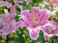 Ogrodnictwo praca Holandia od zaraz przy kwiatach – liliach, Emmeloord 2019