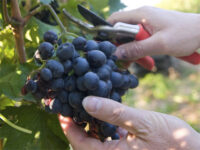 Oferta sezonowej pracy w Niemczech przy zbiorach winogron od zaraz bez języka Karlsruhe