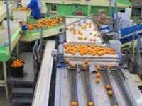 Fizyczna praca w Danii od zaraz przy sortowaniu owoców bez języka Aarhus