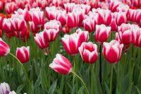 Od zaraz ogrodnictwo oferta sezonowej pracy w Szwecji bez języka przy kwiatach cebulkowych Landskrona 2020