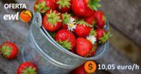 Zbiór truskawek, malin od zaraz oferta sezonowej pracy w Holandii bez języka, Meijel