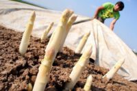 Bez języka oferta sezonowej pracy w Niemczech zbiory szparagów od zaraz Darmstadt