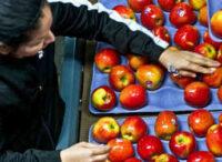 Bez języka fizyczna praca Szwecja przy sortowaniu owoców od zaraz Uppsala 2020
