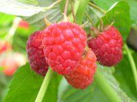 Bez języka oferta sezonowej pracy w Anglii przy zbiorach owoców od zaraz Shrewsbury