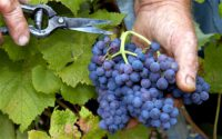 Dla par dam sezonową pracę w Niemczech od zaraz zbiory winogron bez języka Fryburg