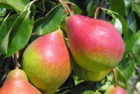 Oferta sezonowej pracy w Anglii bez języka zbiory jabłek i gruszek od zaraz Salisbury