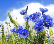 Sezonowa praca w Szwecji przy kwiatach-chabrach od maja 2021 w Skåne