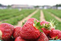 Bez języka oferta sezonowej pracy w Anglii zbiory truskawek od czerwca 2021 Stockport