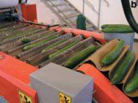 Dam pracę  w Niemczech na produkcji przy sortowaniu ogórków – Dingolfing